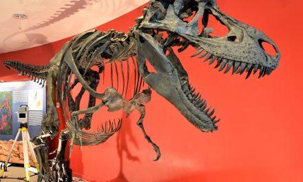 Meet Gorgosaurus at Manchester Museum