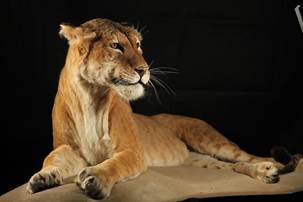 'Maude' the Tigon goes on display at Manchester Museum
