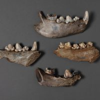 Manchester Museum - Discovering Neanderthals