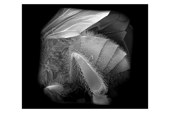 image of a honey worker bee